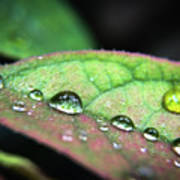 Leaf Veins And Raindrops Poster