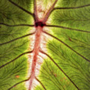 Leaf With Veins Poster