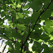 Leaf Xray Poster