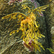 Leafy Sea Dragon Against Colorful Rocks Poster by Max Allen