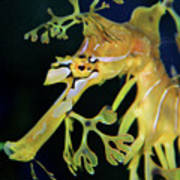 Leafy Sea Dragon Poster by Mariola Bitner