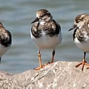 Least Sandpipers Poster