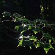 Leaves In Filtered Light  Poster