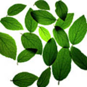 Leaves on White Poster