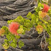 Lehua Flower Poster