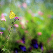 Lemon Butterfly In Summer Meadow  Poster