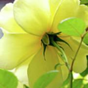 Lemon Yellow Rose Poster
