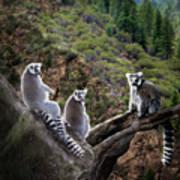 Lemur Family Poster