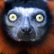 Lemur Glare Poster