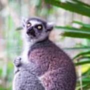Lemur's Gaze Poster