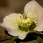 Lenten Rose Poster