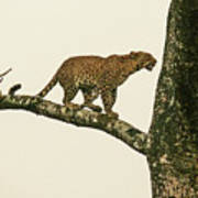 Leopard In A Sal Tree Poster
