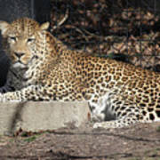 Leopard Relaxing Poster