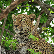 Leopard With Piercing Eyes Poster