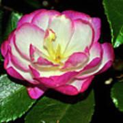 Leslie Ann - Sasanqua Camellia 006 Poster