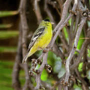 Lesser Goldfinch H57 Poster