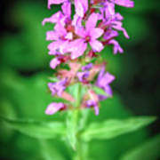 Lesser Purple Fringed Orchid Poster