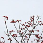 Lesser Yellownape Woodpecker Poster