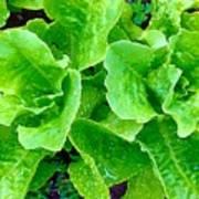 Lettuces Poster