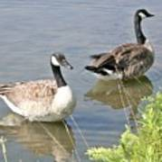 Life Is Good For Canadian Geese Poster