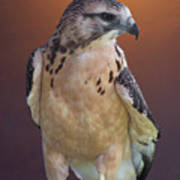 Light Morph Immature Swainsons Hawk Poster