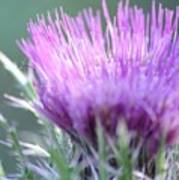 Light On Thistle Poster
