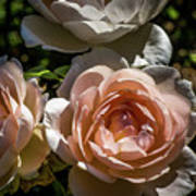 Light Pink Roses Poster