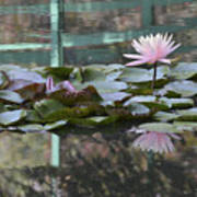 Light Pink Water Lily Poster