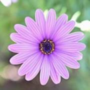 Light Purple Gazania Macro 1  Poster
