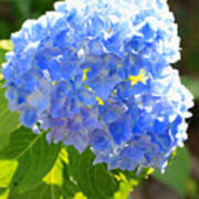 Light Through Blue Hydrangeas Poster