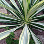 Agave Fourcroydes Poster
