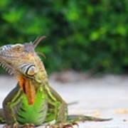 Lil Iguana Poster