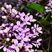 Lilac Bush In Spring Poster