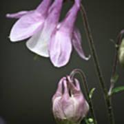 Lilac Columbine 3 Poster