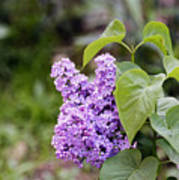 Lilac Flower on a blurred background Poster
