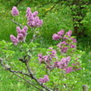Lilac In The Spring Meadow Poster