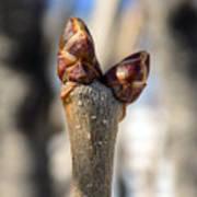 Lilac Leaf Buds Poster