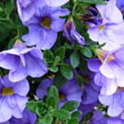 Lilac Petunias Poster