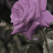 Lilac Rose Poster by Vijay Sharon Govender