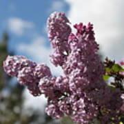 Lilacs 5547 Poster