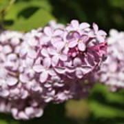 Lilacs 5549 Poster