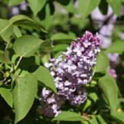 Lilacs 5551 Poster