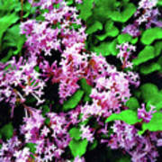 Lilacs In May Poster
