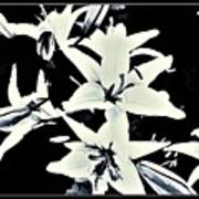 Lilies All Aglow Poster