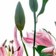 Pink Oriental Starfire Lilies Poster