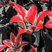 Lilies With A Splash Of Color Poster