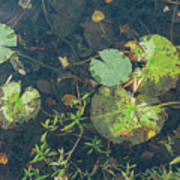 Lilly Pad Close Up  Poster