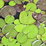 Lily Pads #1 Poster