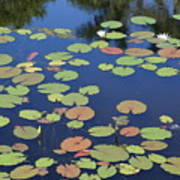 Lily Pads On Blue Pond Poster