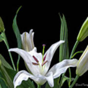 A White Oriental Lily Surrounded Poster
